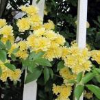 バラの苗/長尺つるもの:モッコウバラ黄花八重5号ポット長さ1.5〜2m