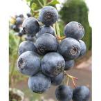 果樹の苗/ブルーベリー:ブライトウェル5号ポット