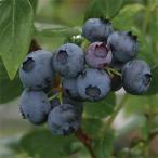 果樹の苗/ブルーベリー:デューク5号ポット