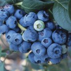 果樹の苗 ブルーベリー おおつぶ星4.5号ポット