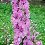 草花の苗/デルフィニウム:アストロット3.5号ポット2株セット