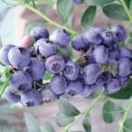 果樹の苗/ブルーベリー:ブルーレカ5号ポット