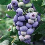 果樹の苗/ブルーベリー:ダロー5号ポット