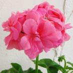 草花の苗/アイビーゼラニウム:pacビッキー3.5号ポット