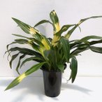 観葉植物/ギフトに 万年青 (おもと):宝船宗石5.5号鉢植え
