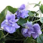 草花の苗/ニオイスミレ:パープル八重咲き3〜3.5号ポット 1株