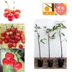 果樹の苗/サクランボ3種セット:佐藤錦・高砂・ナポレオン接木1年苗