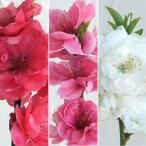 花木 庭木の苗/ほうき性花桃(ハナモモ) 3色3株4号ポットセット