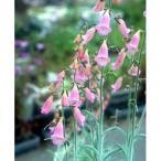 草花の苗/ジギタリス(フォックスグローブ):デュービア3号ポット2株セット