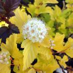 花木 庭木の苗/テマリシモツケ:ダーツゴールド5号ポット