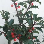 花木 庭木の苗/西洋ヒイラギ:ブループリンセス6号ポット