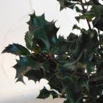 花木 庭木の苗/西洋ヒイラギ:ブループリンス6号ポット