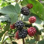 果樹の苗 木いちご ブラックベリー メルトントロンデス3.5号ポット