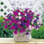 草花の苗 ペチュニア エポック トリコロール ブルー パープル ライトピンク4号ポット