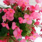 秋から冬に可憐なピンクの花を大量に咲かせる人気品種