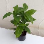 観葉植物 / コーヒーの木3号ポット苗