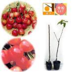 果樹の苗/サクランボ2種セット:南陽(なんよう)と高砂(たかさご)4号ポット