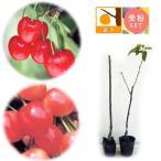 果樹の苗/サクランボ2種セット:南陽(なんよう)とナポレオン4号ポット