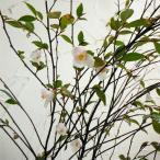 花木 庭木の苗/カメリア:エリナカスケード5号ポット