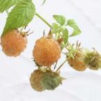果樹の苗/木いちご(キイチゴ):ラズベリー ファールゴールド4〜5号ポット
