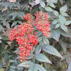 花木 庭木の苗/ナンテン(南天):赤実 5号ポット