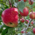 果樹の苗/リンゴ2種セット:ふじ(富士)と津軽(つがる)