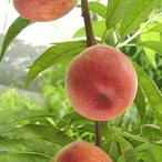 果樹の苗/モモ(桃):ひめこなつ5号ポット