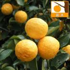 果樹の苗/ユズ(柚子):ハナユ(花柚)4〜5号ポット