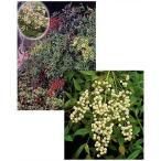 花木 庭木の苗/ナンテン(南天):紅白セット(根巻き樹高80〜120cm)