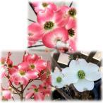 花木 庭木の苗/ハナミズキ:赤・ピンク・白6号ポットの3種セット