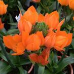 オーニソガラム:オレンジ4号鉢植え