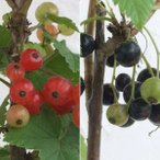 果樹の苗/カシスの苗2種セット(赤房スグリ・黒房スグリ)4〜5号ポット