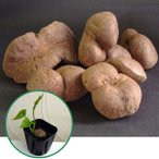 野菜の苗 宇宙いもの苗3号ポット
