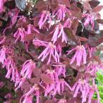 花木 庭木の苗/トキワマンサク:紅花赤葉 樹高1.8m 根巻き