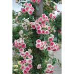 バラの苗/つるバラ:ミミエデン大苗