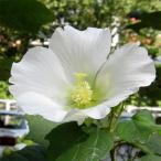 花木 庭木の苗/ニホンフヨウ(日本芙蓉):ホワイト4〜5号ポット