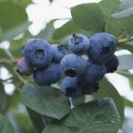 果樹の苗/ブルーベリー:はやばや星4〜4.5号ポット