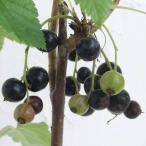 果樹の苗/カシス:黒フサスグリ(ブラックカーラント)4〜5号ポット