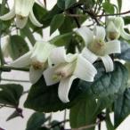 草花の苗/長尺つるもの:クレマチス:ユンナンエンシス5号長さ1.5m