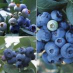 果樹の苗/群馬県オリジナル品種ブルーベリー:3種セット(あまつぶ星・おおつぶ星・はやばや星)