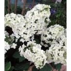 花木 庭木の苗/カシワバ(柏葉)アジサイ:スノーフレーク(八重)4〜5号ポット
