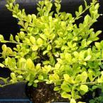 花木 庭木の苗/イヌツゲ:ゴールデンジェム5号ポット