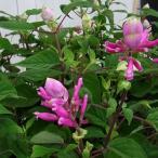 草花の苗/サルビア:インボルクラータ(ローズリーフセージ)3〜3.5号ポット2株セット