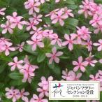 草花の苗 ニチニチソウ フェアリースターミルキーピンク3.5号ポット