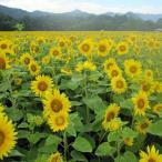 4〜8月まき タネ 景観形成作物:ヒマワリ・ハイブリッドサンフラワー200g