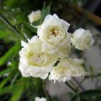 バラの苗/長尺つるもの:モッコウバラ白花八重5号ポット長さ1.5〜2m