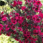 花木 庭木の苗/ギョリュウバイ:赤八重3.5号ポット