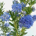 花木 庭木の苗/セアノサス:パシフィックブルー4号ポット