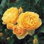 バラの苗/イングリッシュローズ:グラハム・トーマス大苗5号角鉢植え