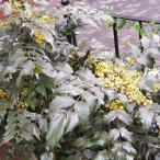 花木 庭木の苗/ヒイラギナンテン(マホニア、トウナンテン)5号ポット